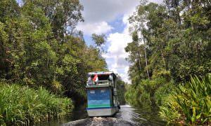 Indonesia, Selva de Borneo en Klotok