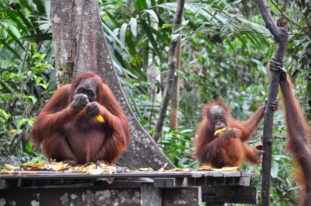 Indonesia-orangutan