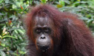Indonesia, Selva de Borneo y orangutanes